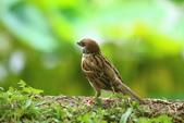 麻雀、鷺鷥、紅冠水雞~荷花池生態秀:z 158.JPG