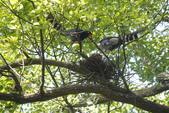 2012 鳥影~ 台灣藍鵲:1975213359.jpg