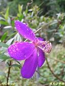 珠兒愛拍:低矮灌木:野豔牡丹10