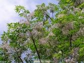 杜鵑花、苦楝、金魚草、玻斯菊、飄香藤:1370664908.jpg