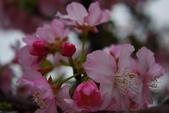 2013新竹麗池之櫻.中正紀念堂梅櫻:1443372236.jpg