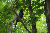 台灣藍鵲~石牌行義公園:b 080之2.JPG