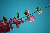 珠兒愛拍:藤蔓植物:蒜香藤