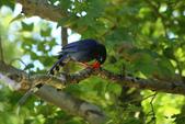 台灣藍鵲~石牌行義公園:b 091.JPG