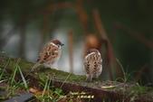 鳥類寫真:紅冠水雞、麻雀、綠繡眼、白頭翁、黑枕藍鶲、五色鳥:1786257063.jpg
