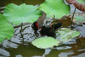 麻雀、鷺鷥、紅冠水雞~荷花池生態秀:g 035.JPG