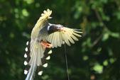 台灣藍鵲~石牌行義公園:b 129.JPG