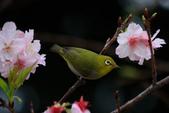綠繡眼VS大漁櫻:G 048.JPG