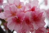 2013新竹麗池之櫻.中正紀念堂梅櫻:1443372237.jpg
