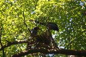 2012 鳥影~ 台灣藍鵲:1975213338.jpg