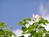 珠兒愛拍:低矮灌木:山芙蓉1