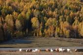 北疆金秋(3)喀納斯湖、禾木村:IMG_4834.JPG