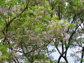 杜鵑花、苦楝、金魚草、玻斯菊、飄香藤:1370664909.jpg