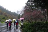 2012武陵冬景~楓葉紅銀杏黃:1305735549.jpg
