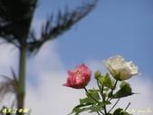 珠兒愛拍:低矮灌木:木芙蓉1
