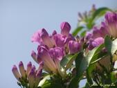 紫色浪漫97.11:蒜香藤、立鶴花、翠蘆莉、天使花、鼠尾草、馬蘭、台灣馬藍、矮牽牛:1878380495.jpg