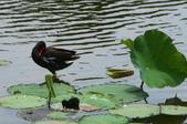 麻雀、鷺鷥、紅冠水雞~荷花池生態秀:g 096.JPG