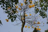 巴西國花~黃花風鈴木(新埔秘境):1366808295.jpg