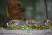 鳥類寫真:紅冠水雞、麻雀、綠繡眼、白頭翁、黑枕藍鶲、五色鳥:1786257064.jpg