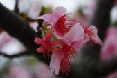 2013新竹麗池之櫻.中正紀念堂梅櫻:1443372238.jpg