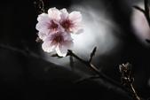 2013新竹麗池之櫻.中正紀念堂梅櫻:1443400691.jpg