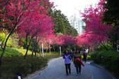 2013新竹麗池之櫻.中正紀念堂梅櫻:1443385341.jpg