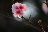 2013新竹麗池之櫻.中正紀念堂梅櫻:1443385334.jpg