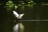 麻雀、鷺鷥、紅冠水雞~荷花池生態秀:w 123.JPG