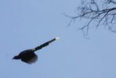 2012 鳥影~ 台灣藍鵲:1975213361.jpg