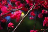 2013新竹麗池之櫻.中正紀念堂梅櫻:1443385392.jpg