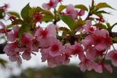 2013新竹麗池之櫻.中正紀念堂梅櫻:1443372240.jpg