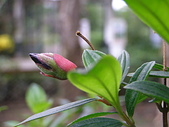 珠兒愛拍:低矮灌木:野豔牡丹