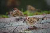 鳥類寫真:紅冠水雞、麻雀、綠繡眼、白頭翁、黑枕藍鶲、五色鳥:1786257065.jpg