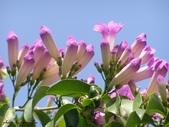 紫色浪漫97.11:蒜香藤、立鶴花、翠蘆莉、天使花、鼠尾草、馬蘭、台灣馬藍、矮牽牛:1878380496.jpg