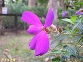 珠兒愛拍:低矮灌木:野豔牡丹9