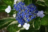 2013與繡球花的美麗約會:1235902626.jpg