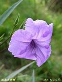珠兒愛拍:其他植物:翠蘆莉