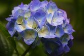 2012繡球花.阿勃勒.:1603080161.jpg