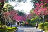 2013新竹麗池之櫻.中正紀念堂梅櫻:1443385343.jpg