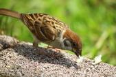 麻雀、鷺鷥、紅冠水雞~荷花池生態秀:C 111.JPG