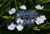 2013與繡球花的美麗約會:1235902627.jpg