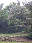 杜鵑花、苦楝、金魚草、玻斯菊、飄香藤:1370664911.jpg