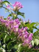 紫色浪漫97.11:蒜香藤、立鶴花、翠蘆莉、天使花、鼠尾草、馬蘭、台灣馬藍、矮牽牛:1878380497.jpg
