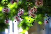 2018繡球花:IMG_4223.JPG