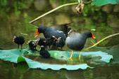 麻雀、鷺鷥、紅冠水雞~荷花池生態秀:g 145.JPG
