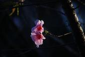 2013新竹麗池之櫻.中正紀念堂梅櫻:1443385337.jpg