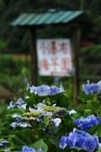 繽紛多彩繡球花~竹子湖:B 021.JPG