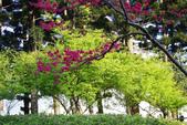 2013新竹麗池之櫻.中正紀念堂梅櫻:1443385344.jpg