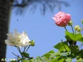 珠兒愛拍:低矮灌木:木芙蓉