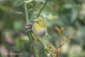 鳥類寫真:紅冠水雞、麻雀、綠繡眼、白頭翁、黑枕藍鶲、五色鳥:1786266226.jpg